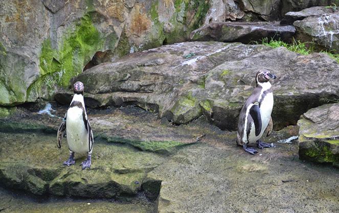 Пингвины в берлинском зоопарке