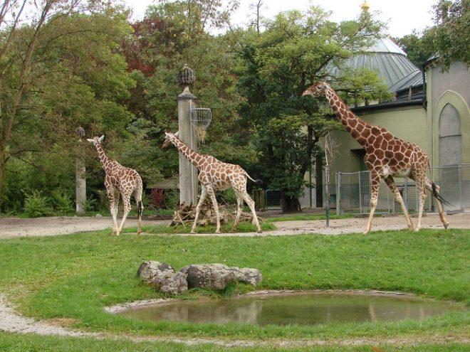 Жирафы в зоопарке Мюнхена