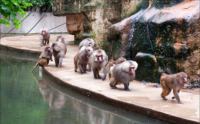 Обезьяны в Кельнском зоопарке