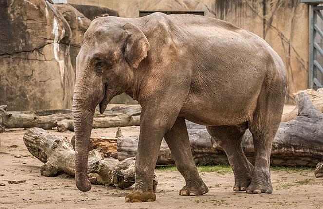 Слоны в Кельнском зоопарке
