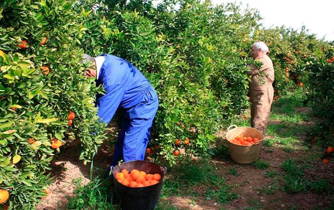 Сбор цитрусовых в Испании