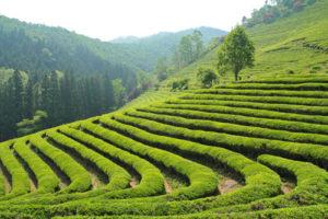 Растениеводство Кореи