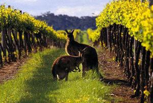 Виноградники в Австралии