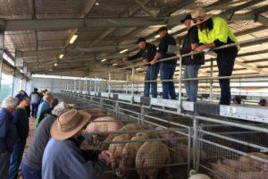 Свиноводство в Австралии